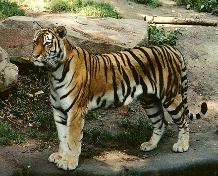 440px-Panthera_tigris_altaica_female_crop