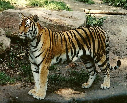 440px-Panthera_tigris_altaica_female_crop