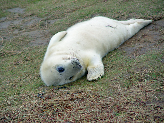 A_young_seal_at_Donna_Nook_-_geograph.org.uk_-_845239