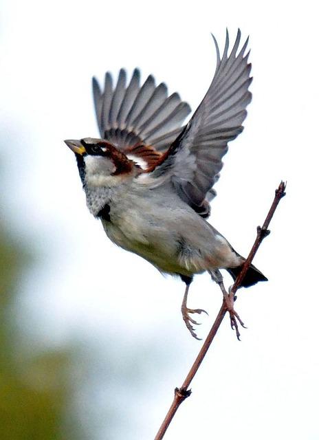 sparrow-264391_640