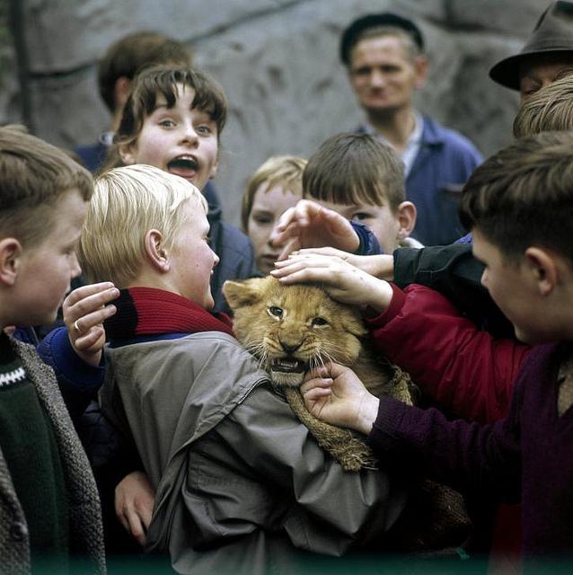 Kinderen met een jonge leeuw (welpje) in een Nederlandse dierentuin, jaren '60.