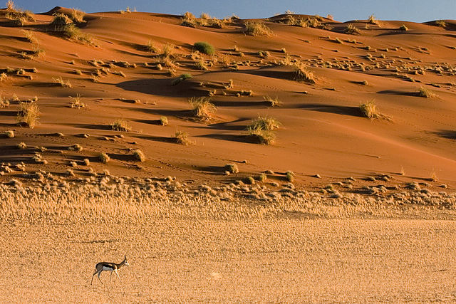 640px-Springbok_Antelope_Sossusvlei_Namib_Desert_Namibia_Luca_Galuzzi_2004